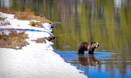 Bear in river Royalty Free Stock Photos