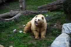 Bear roaring Stock Images