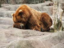 Bear on Rock stock photo