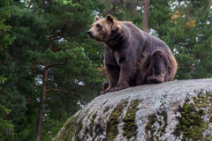Bear on a rock. With a background of trees stock images
