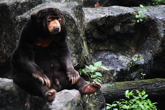 Bear on the rock Royalty Free Stock Image