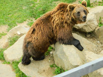 Bear on a rock formation Royalty Free Stock Image