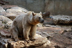 Bear on rocks Royalty Free Stock Photo