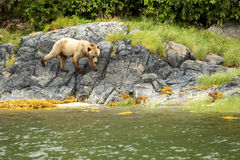 Bear on the Rocks Stock Photo