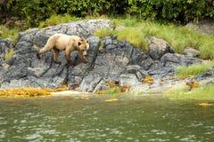 Bear on the Rocks Stock Photo