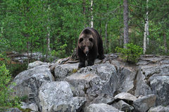 Bear on the rocks Stock Photos