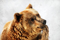Bear. With rope in his mouth Stock Images
