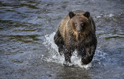 Bear run. A young grizzly bear runs through a creek during salmon run season in British Columbia, Canada Stock Photo