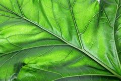 Bear's Breeches Leaf Stock Image