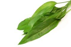 Bear's garlic Stock Image