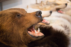 Bear`s head with bared teeth. The head of a brown bear with bared teeth and the head of wolves ,scarecrow Stock Photography