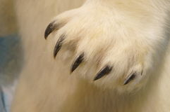 The bear's paw close-up Royalty Free Stock Photos