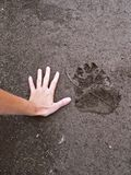 Bear`s paw trace compared to human hand in the mud Stock Photo
