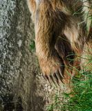 Bear`s paw with very strong and very dangerous nails stock image