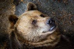 Bear`s portrait close up detail royalty free stock photos