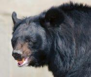 Bear's smile Royalty Free Stock Image