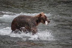 Bear with salmon Stock Images