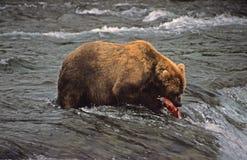 Bear and Salmon Stock Image