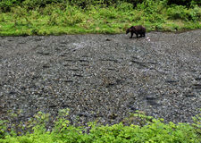 Bear and salmon. A grizzly bear strolls through a creek, filled with salmon.  Tongass national forest, Alaska Royalty Free Stock Photos
