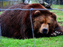 Bear Scowl Royalty Free Stock Photo