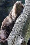 Bear scratch Stock Image