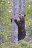 Bear seeks food on the tree Royalty Free Stock Photos