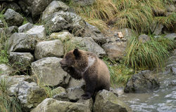 Bear shame. A young grizzly bear cub touches his face with his paw.  Haines, Alaska Stock Photos