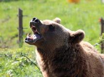 Bear. Showing teeth stock photo
