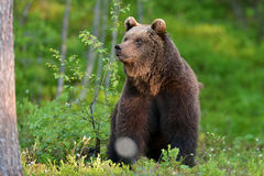 Bear sitting. In forest at summer Stock Image