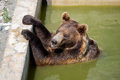 Bear sitting in green water stock images