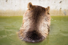 Bear sitting in green water, nape. In the datyime Stock Photo