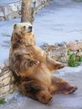 Bear sitting on stone. Grizzly bear sitting on stone and resting Stock Photography