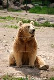 Bear sittting in a zoo Royalty Free Stock Image
