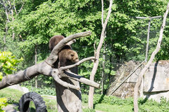 Bear Skansen Park Stockholm Sweden Stock Photos