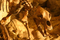 Bear skeleton. Several thousand years old lion skeleton: focus on the head Royalty Free Stock Photo