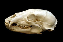 Bear Skull. Black bear skull isolated on black Stock Images