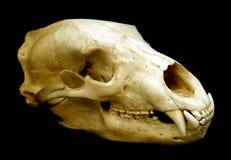 Bear Skull Royalty Free Stock Image