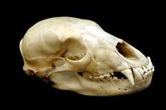 Bear Skull Stock Photo