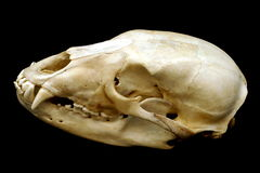 Bear Skull Stock Photos