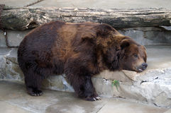Bear Sleeping Royalty Free Stock Images