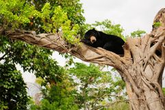 Bear sleeping Royalty Free Stock Image