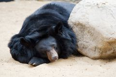 Bear is sleeping Royalty Free Stock Image