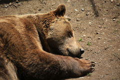 Bear sleeping Stock Photography