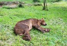 Bear sleeping on  grass Royalty Free Stock Photo