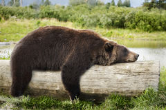 Bear Sleeping on a Log Royalty Free Stock Photography