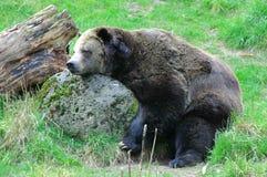 Bear sleeping on rock outdoors. stock photos