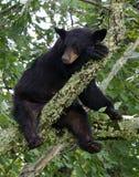 Bear Sleeping in tree Stock Photo