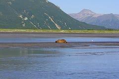 Bear Sleeping in the Wilderness. In Katmai National Park in Alaska Stock Photography