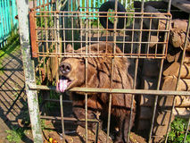 Bear in a small cage at a private zoo. Cruelty to animals, Animal rights Stock Images