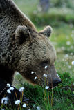 Bear smelling the flowers Royalty Free Stock Image